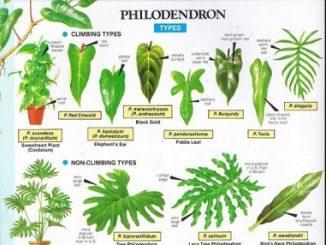 tanaman philodendron