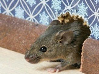 tikus dirumah